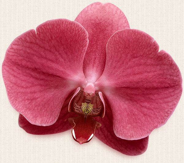 Orchid Left